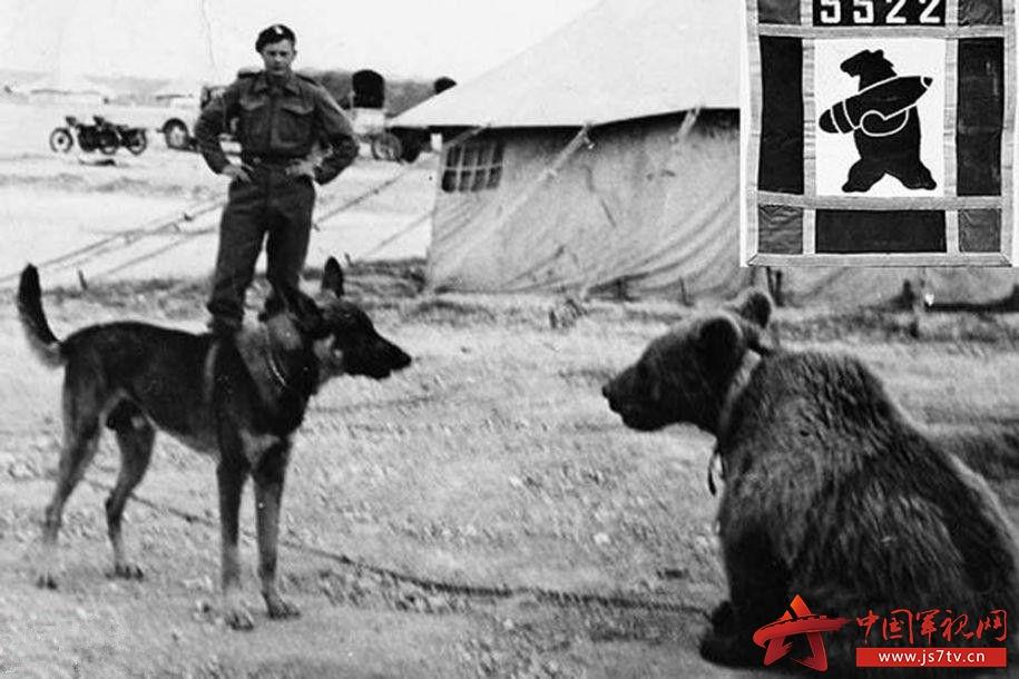 这头西伯利亚棕熊就是传说中的wojtek,到过伊朗,跟波兰人摔过跤,能灌