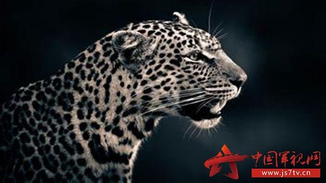 美洲豹集合了猫科动物的所有