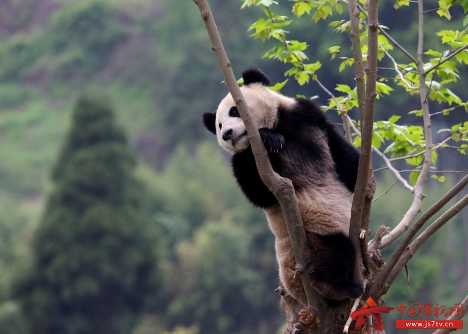 这是一个特殊的日子。   5月11日,武警卧龙森林中队士官王刚和熊猫苏琳再度重逢。这一天,是512汶川大地震后,新建的中国保护大熊猫研究中心四川卧龙神树坪基地中华大熊猫苑正式开园的日子。这一天,包括中队官兵在内的卧龙人已经等了8年。   经过这些年的生态修复,震后被送走的部分熊猫终于重回故乡,开始了更好的生活。   苏琳比较失落,跟她一起经历512大地震的团团圆圆去了台湾,救护她们的许多武警森林战士也退伍返乡。   突然,她看见了自己的救命恩人,顿时精神了不少!   饲养