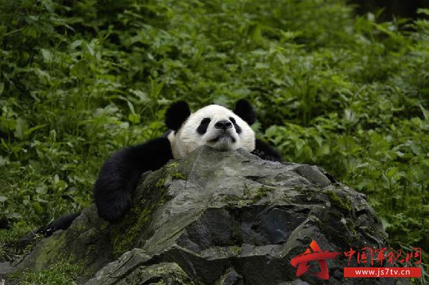 国宝大熊猫已不再是濒危动物