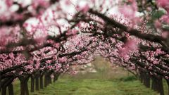 《在那桃花盛开的地方》:1969年,戍边战士的思念