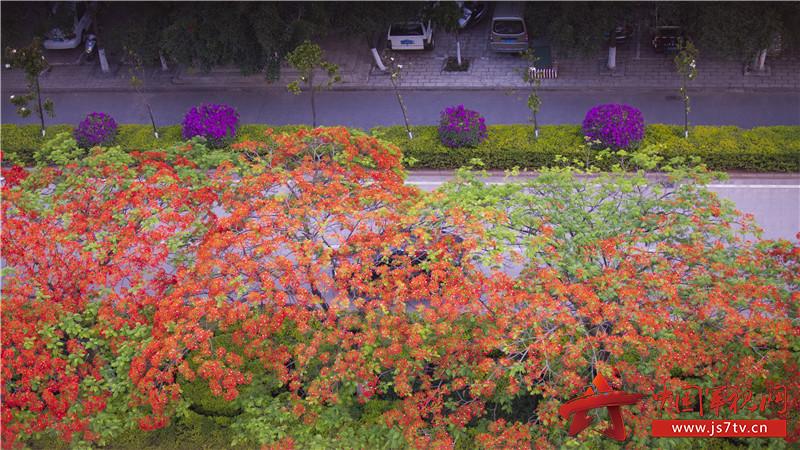 图8:当下,正是凤凰花盛开的时节。
