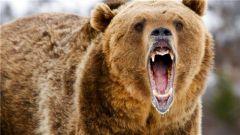 新兵首次上哨就遭遇棕熊侵扰 老兵:不止今晚