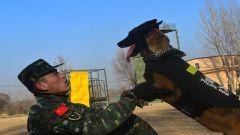 """走进军营""""汪汪队"""":看警犬是怎样练成的"""
