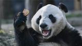 """这是2018年1月16日在中国大熊猫保护研究中心都江堰基地拍摄的大熊猫""""华豹""""。2018年1月17日,大熊猫""""华豹""""""""金宝宝""""从中国大熊猫保护研究中心都江堰基地出发,启程前往芬兰。新华社记者 薛玉斌 摄"""