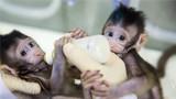 """2018年1月22日,克隆猴""""中中""""和""""华华""""在中科院神经科学研究所非人灵长类平台育婴室的恒温箱里。新华社记者 金立旺 摄"""