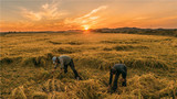 2018年9月18日,在吉林省舒兰市平安镇,农民在稻田间捡拾稻穗。新华社记者 许畅 摄
