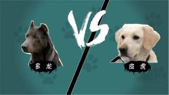 """迅速識""""毒""""挑戰賽開始 你pick哪只緝毒犬呢"""