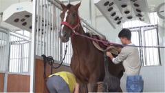 探秘军运会:散步 冲凉 就医 工作人员全方位保障参赛马匹健康安全