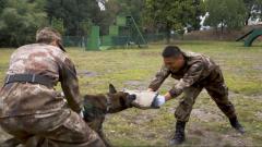直击军犬扑咬训练 训导员可真不好干