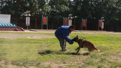 一条合格军犬是如何被训练出来的?
