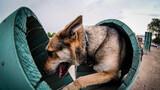 军犬通过障碍训练
