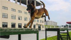 """练就 """"神犬奇兵""""!武警福建总队机动支队组织警犬专业技能训练"""