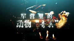 """《軍事紀實》20200828 軍營里的動物""""奇兵"""""""