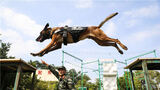 行李箱搜爆、穿越铁圈、通过障碍……近日,武警第二机动总队某支队结合任务实际,组织军犬专业技能训练,全面提升训导员与警犬的配合程度和遂行多样化任务的能力。