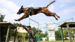 """""""神犬奇兵""""炼成记:训导员与警犬的日常"""