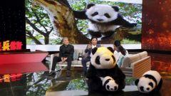 """近30年拍摄熊猫作品10万张 """"周熊猫""""为何如此痴迷?"""