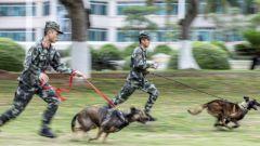 武警广西总队某支队组织训导员携军犬开展多课目训练